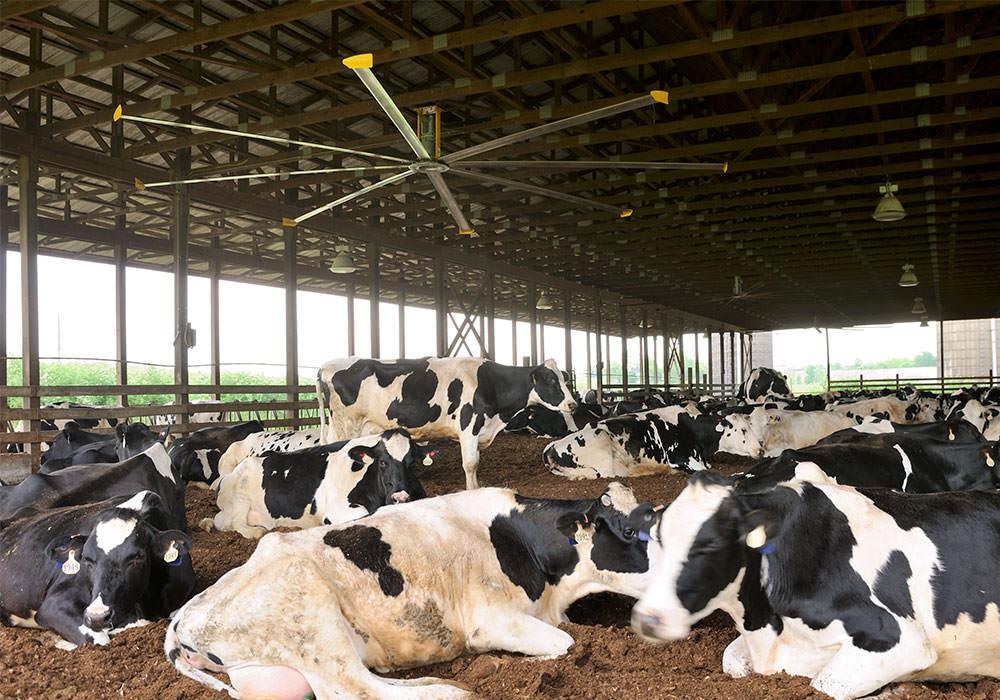 quạt trần công nghiệp lắp đặt trang trại chăn nuôi